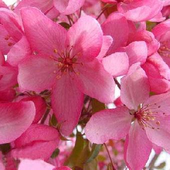累累玲珑的小海棠果等到7-8月里而已经是红