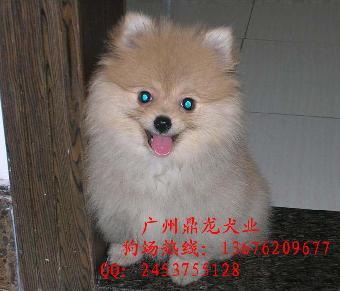可爱赛级哈多利球体博美犬-终身包纯包健康小博美超级可爱的小型犬,品