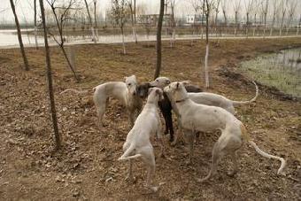 ... 的图片_灵缇狗 格力犬,惠比特,格力灵缇狗的百度相册