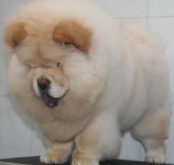 大头肉嘴可爱憨厚的松狮宝宝 百胜犬舍有售