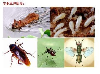 蟑螂的危害与防治_蟑螂2_成都灭鼠除虫_成都精科有害生物防治服