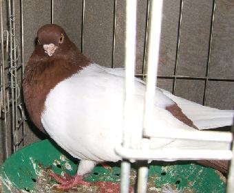 观赏鸽有什么品种;; 鸽子的品种;