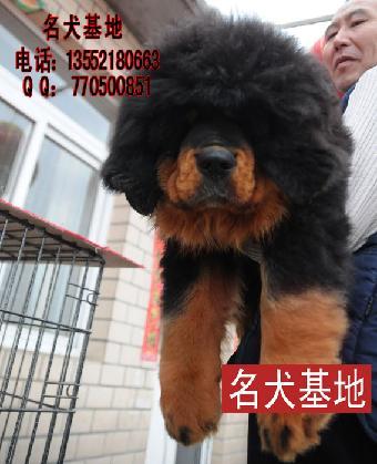 藏獒幼犬图片 藏獒名字大全 纯种藏獒幼犬价格西藏