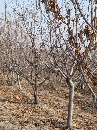 1-10公分核桃树 1-10公分苹果树 1-30公分柿子树 1-20公分山楂树 占地