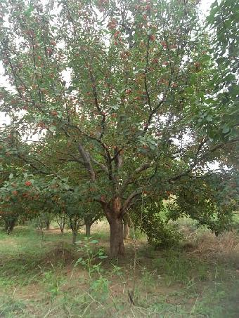 成活率超高风景八棱海棠树