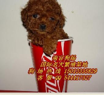 深圳哪里有卖茶杯贵宾犬 深圳哪里能买到纯种茶杯犬