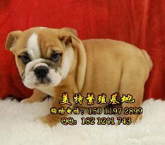 广州哪里有卖斗牛犬 纯种英国斗牛多少钱一只