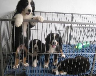 广州哪里有卖百恩山出售纯种大骨架可爱百恩山狗宝宝