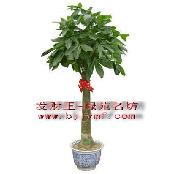 2013发财树价格多少钱一棵