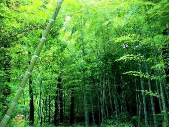 山东早园竹适合北方种植的山东绿化竹子
