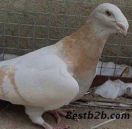 新疆出售短发鸽观赏鸽头型羊驴马萌萌哒天团肉牛图片
