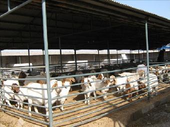 山羊虽耐粗饲,对管理条件要求低,但目前农村羊圈简陋,低矮,潮湿,且