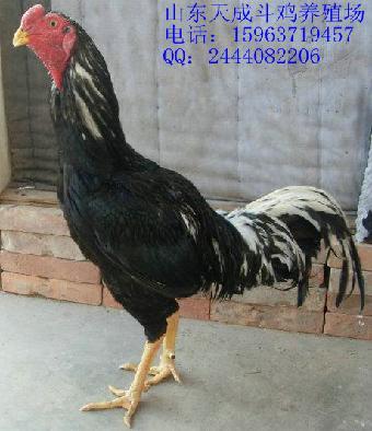 新疆有中原斗鸡.新疆有斗鸡养殖场扁平化篮球设计图片