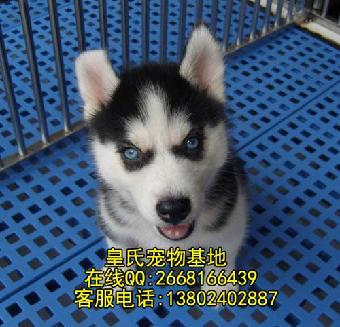 广州哪里有卖哈士奇小狗 二货哈士奇