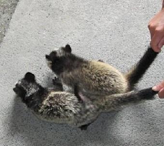 果子狸是珍贵的毛皮用野生动物.