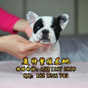广州哪里有卖法国斗牛犬 纯种法斗一只多少钱