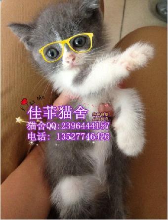 广州哪里有卖英短蓝白猫,英短有什么纹路 英短多少
