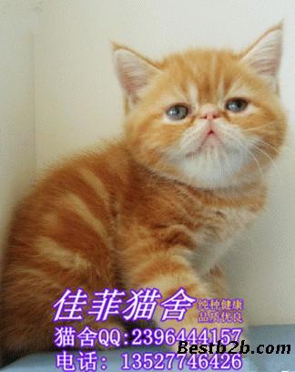 广州哪里有卖加菲猫猫咪 佳菲猫舍纯种可爱加菲猫咪一