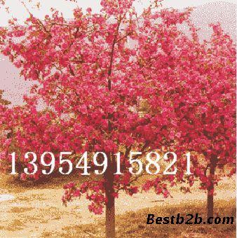 累累玲珑的小海棠果等到7-8月里而已经是红透