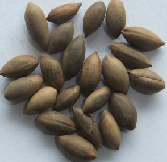 供应:金丝楠木种子,金丝楠木种子价格