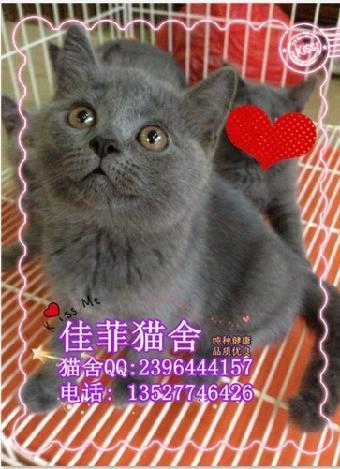 佳菲猫舍直销纯种宠物猫咪精挑细选高品质蓝猫精品级