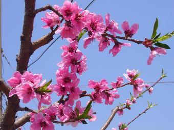 泰安果树苗 桃苗 苹果苗低价供应