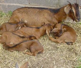 浙江浦江县黑山羊黄羊小羊羔 孕羊 种羊多少钱一只