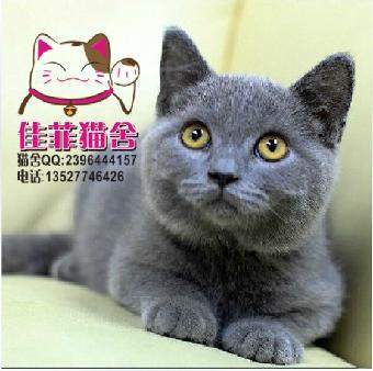 英国短毛猫 纯种蓝猫 肥嘟嘟大脸