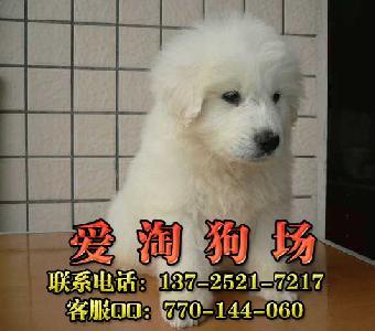 佛山哪有狗场买宠物狗 大白熊最便宜的多少钱