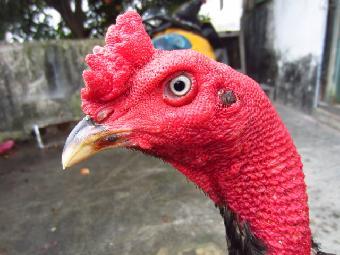 然后就是出壳率较低,在平常的孵化斗鸡中越南斗鸡蛋的出壳率在50%,在2016宜昌龙舟赛图片