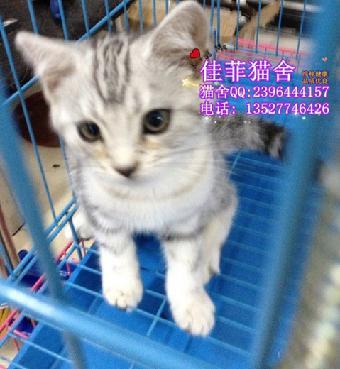 出售波斯猫 纯种健康波斯猫 波斯猫幼崽