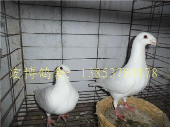 新疆观赏鸽头型有卖发型观赏鸽的什么王俊凯是图片头发图片