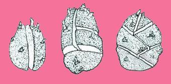 马铃薯生长发育种植华东华南华中地区适宜的荷祖玛的技巧图片