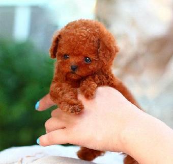 玩具型泰迪犬 广州哪里有卖