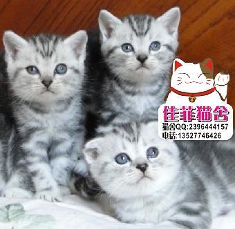 出售加菲猫美短英短蓝猫折耳猫身体健康品相好