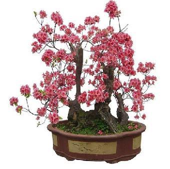形态古朴苍劲的桃树,杏树老桩上萌发的一,二年生枝条做砧木进行嫁接