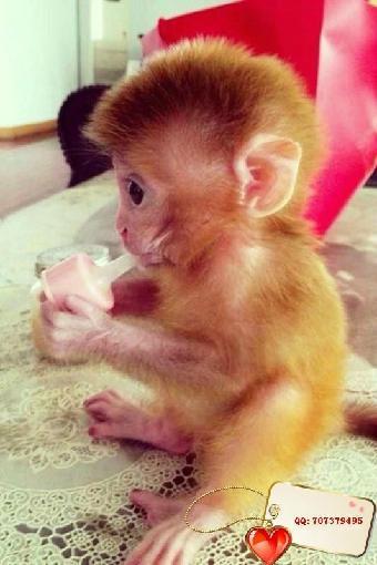 哪里有宠物猴子卖