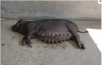 什么品种的母猪下崽多?图片