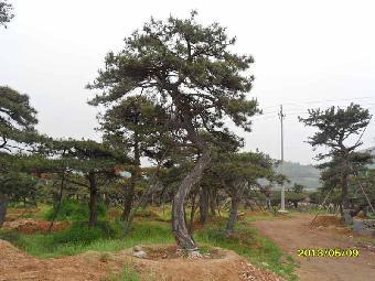 是公园绿化,道路绿化,园林置景,庭院观赏,小区美化装饰等的必备树种.