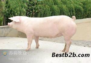 四川长大二元母猪价格_志趣网