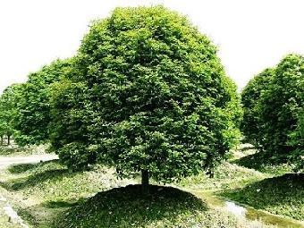 四季桂为常绿乔木,属于桂花树品种之一,花黄白色或淡白色,香气清淡