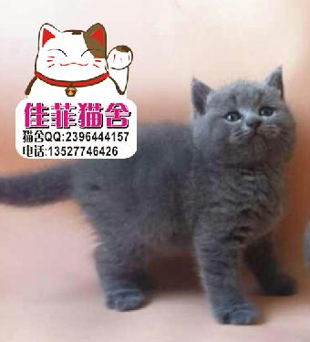 出售英短蓝猫幼崽胖嘟嘟的 非常的可爱头版大性格好