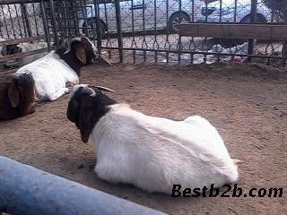 哪里卖波尔山羊好种羊小羊多少钱一只