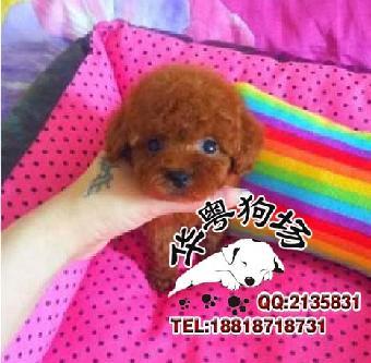 最受欢迎的小型犬贵宾犬 卷毛可爱颜色多好挑选