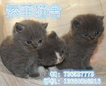 英国短毛猫 英短银渐层 英短蓝猫 泰国暹罗猫对外出售咯 只只漂亮可爱