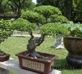 以冬青树作砧木可以嫁接香源植物丁香,桂花,嫁接色叶植物金叶冬青树.