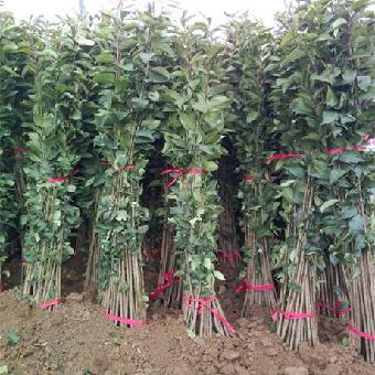 形态特征:别名蜡树(水蜡),为常绿大灌木或乔木,树皮灰